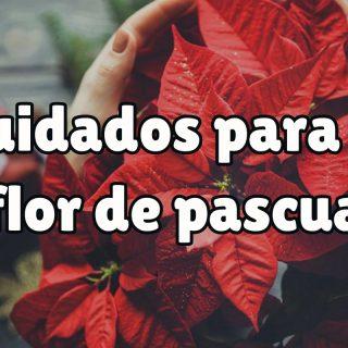¿Cómo cuidar la flor de pascua para navidad?