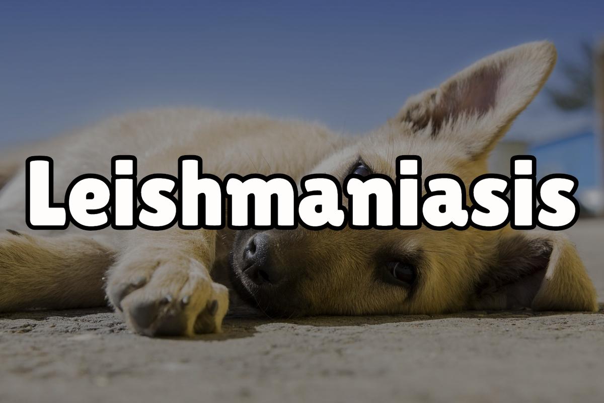 Leishmaniasis: qué es, cómo se contagia y todo lo que debes saber 1
